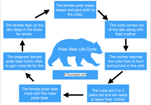 Polar Bear Life Cycle Diagram