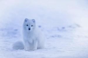 do polar bears eat arctci foxes