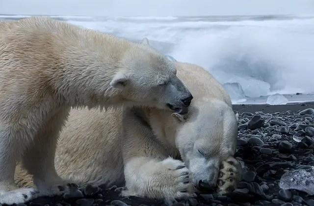 How Much Do Polar Bears Weigh - Polar Bear Weight
