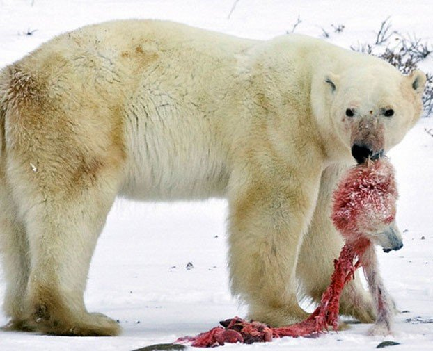 polar bear predators