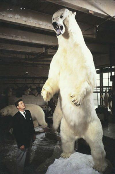Biggest polar bear - Tallest Polar Bear - Largest Polar Bear