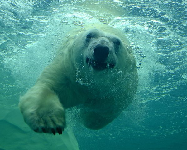 How Fast Can a Polar Bear Swim - Polar Bear Swimming Speed