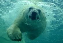 How Fast Can a Polar Bear Swim 1
