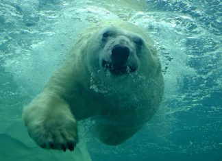 How Fast Can a Polar Bear Swim 1