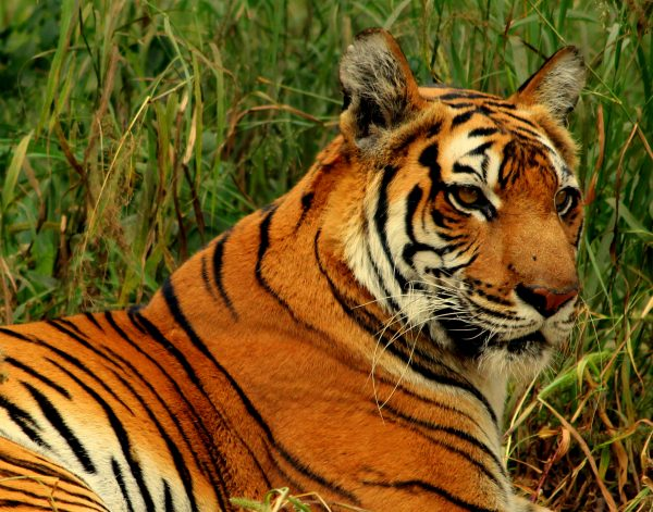 How Much Does a Bengal Tiger Weigh