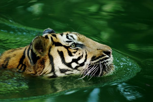 How Much Does a Malayan Tiger Weigh