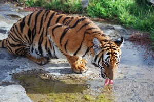 How Much Does a South ChinaTiger Weigh