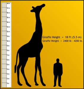 how tall is a Giraffe