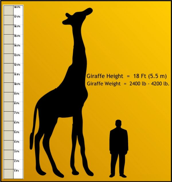 How Tall is a Giraffe - Giraffe Height