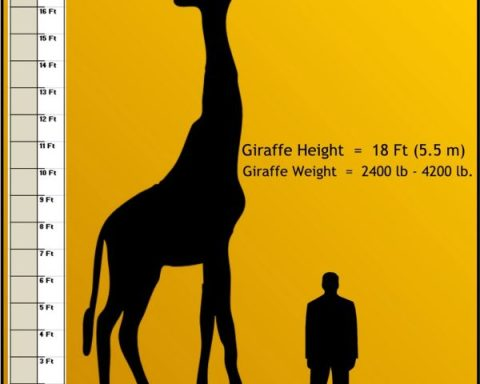 how tall is a Giraffe