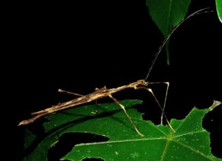 what do stick insects eat