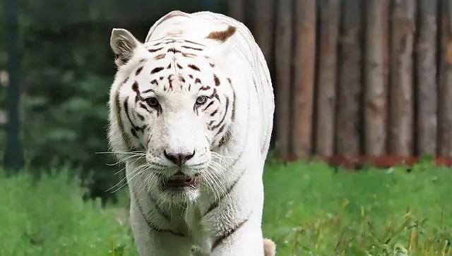 Bengal Tiger Weight