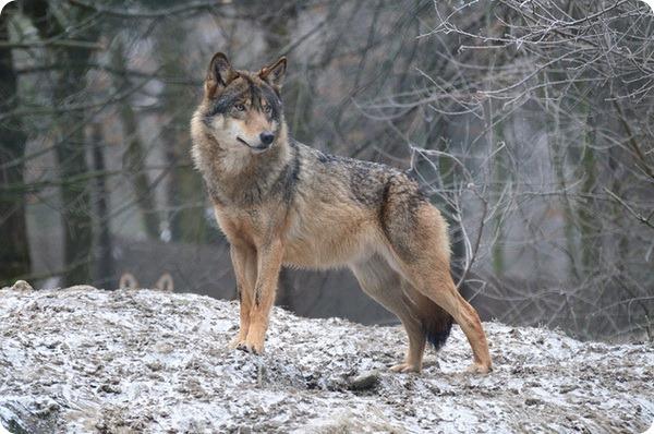 Лесной волк ареал обитания и цвет хищника