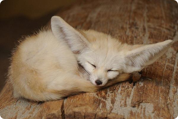Ушастая лиса ночное животное с большими ушами