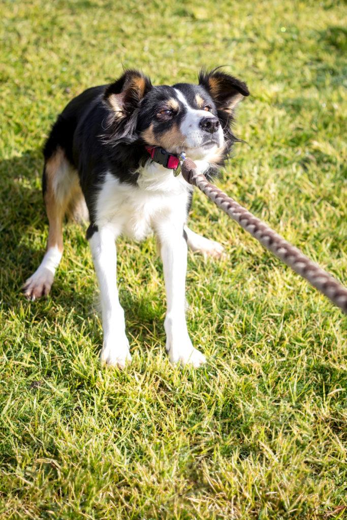 Comment apprendre à un chien à ne pas tirer sur sa laisse