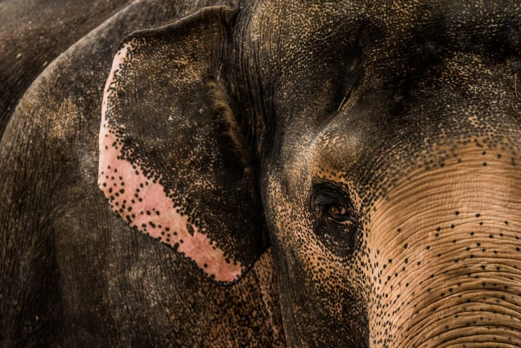 Training an Elephant Bull Called Tonsak
