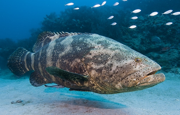 Improving Animal Wellness and Guest Experience Through Learning Opportunities and Secondary Reinforcers with a Goliath Grouper (Epinephelus Itajara)