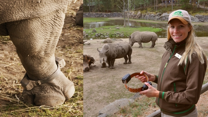 """How training your rhino to """"give paw"""" could help the species"""
