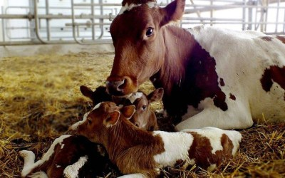 Особенности воспроизводства стада крупного рогатого скота