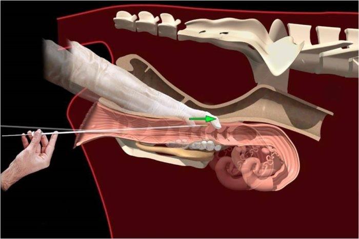 Анатомия половых органов