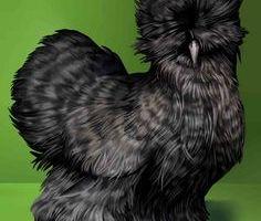 Raras razas de gallinas