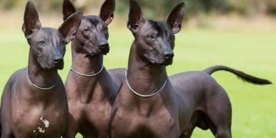 Raza-perros- xoloitzcuintle