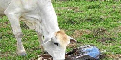 brucelosis bovino