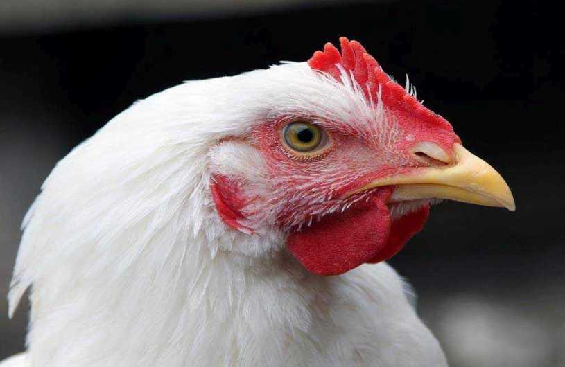 sanidad avicola