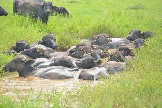 Bufalos a la venta