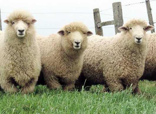 Ovinos tipo lana