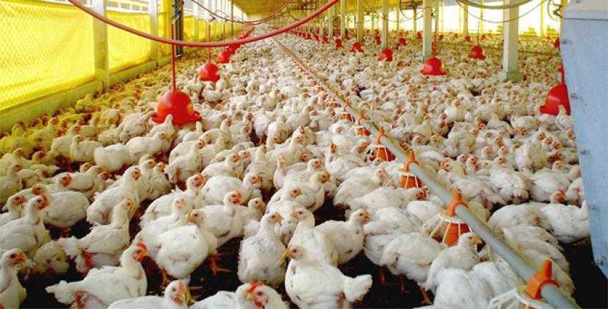 Aves de producción requieren bienestar para su óptimo desarrollo