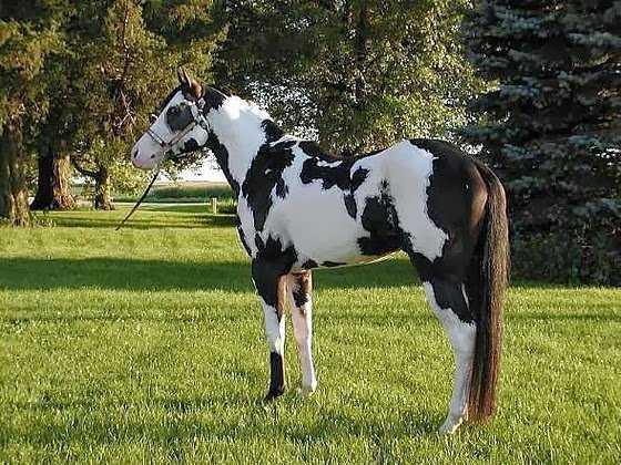 caballo overo negro