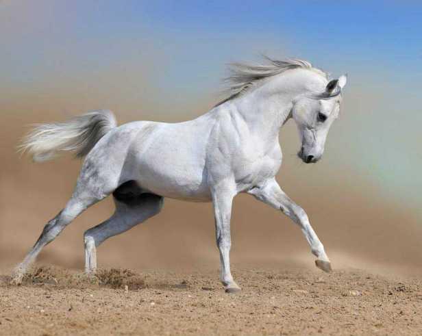 capa del caballo blanco