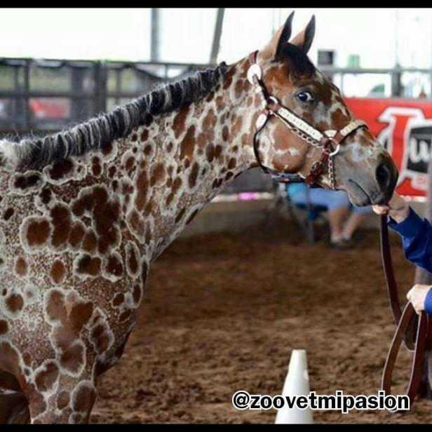 capa leopardo del caballo