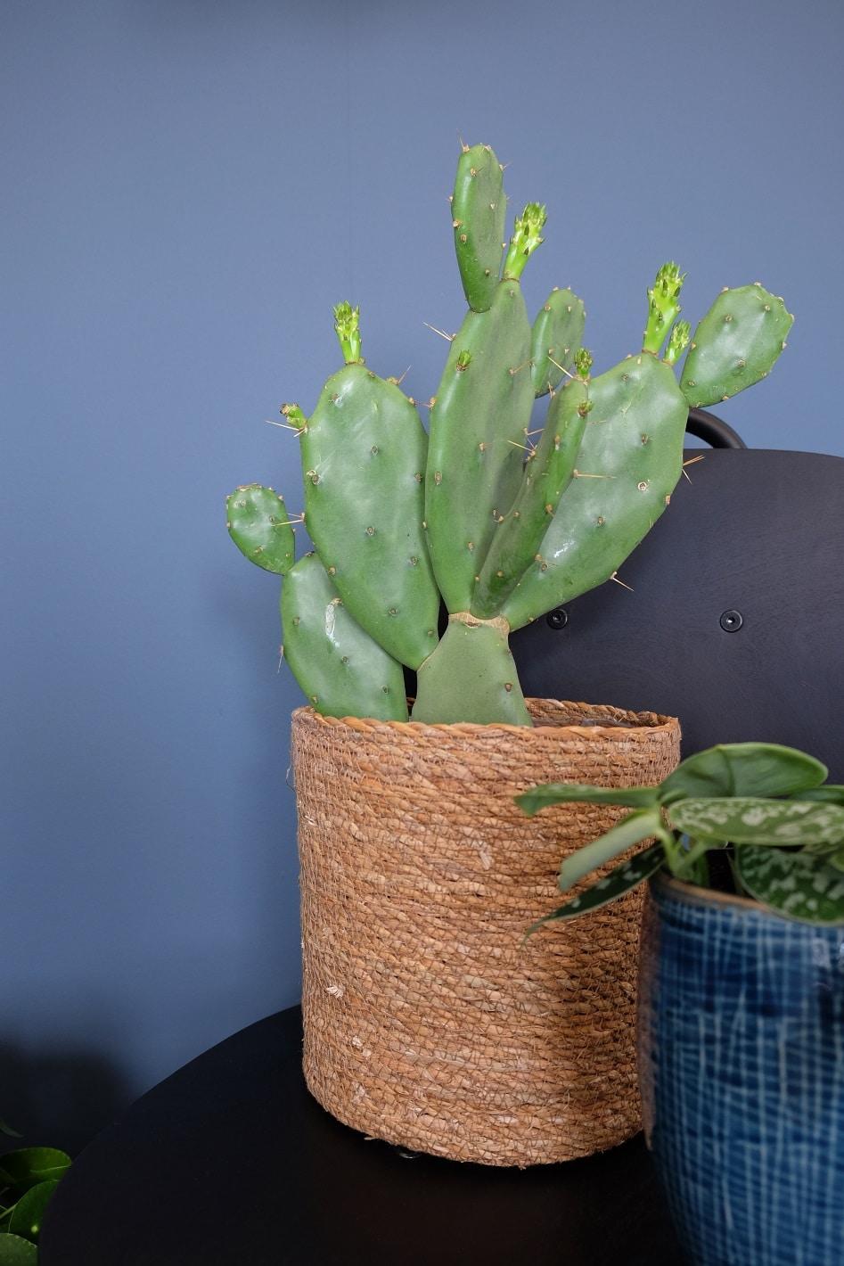 cactus makkelijke plant