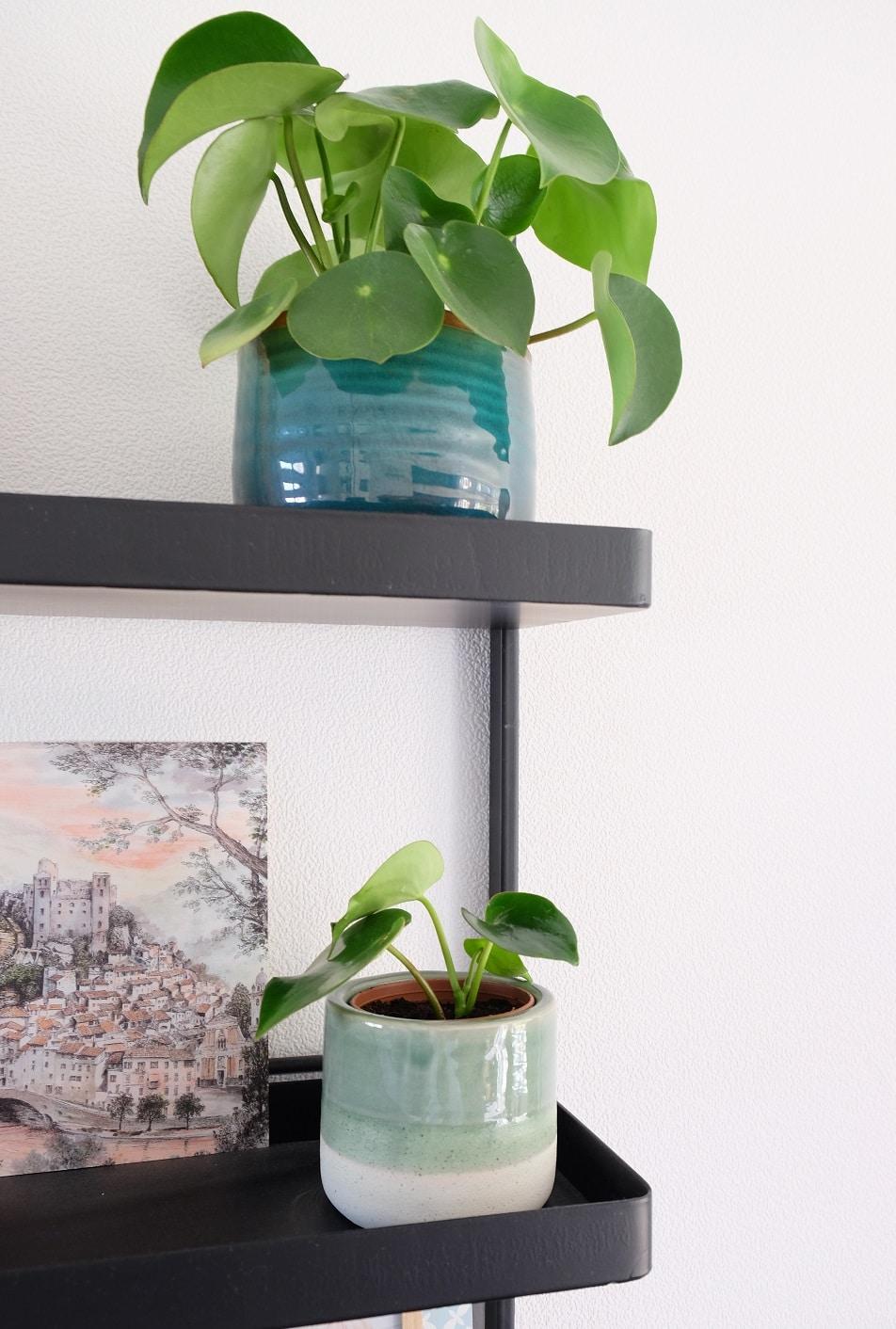 hippe plant