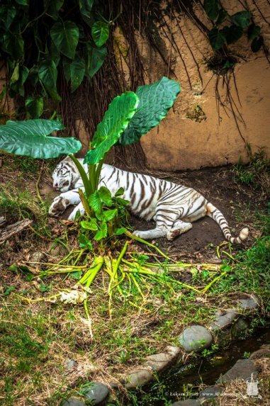 zoo - biały tygrys