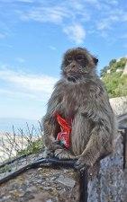 gibraltarská opička, Gibraltar, UK; Lucka Kenkušová, E