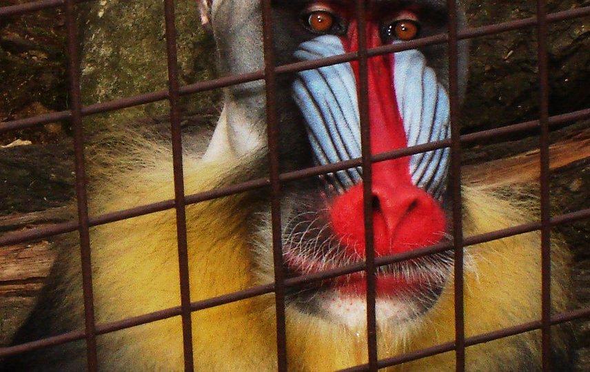 Fotografie opice mandril s barevným obličejem, která smutně sedí za mříží v ZOO.