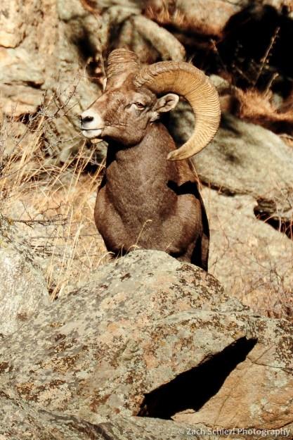 Bighorn Sheep, Big Thompson Canyon, Colorado