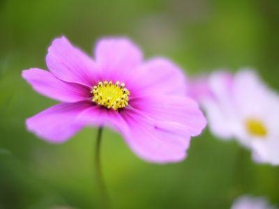 コスモス花