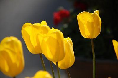 黄チューリップ花