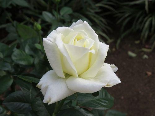 rose_white