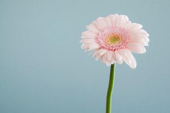 ピンクのガーベラの花画像