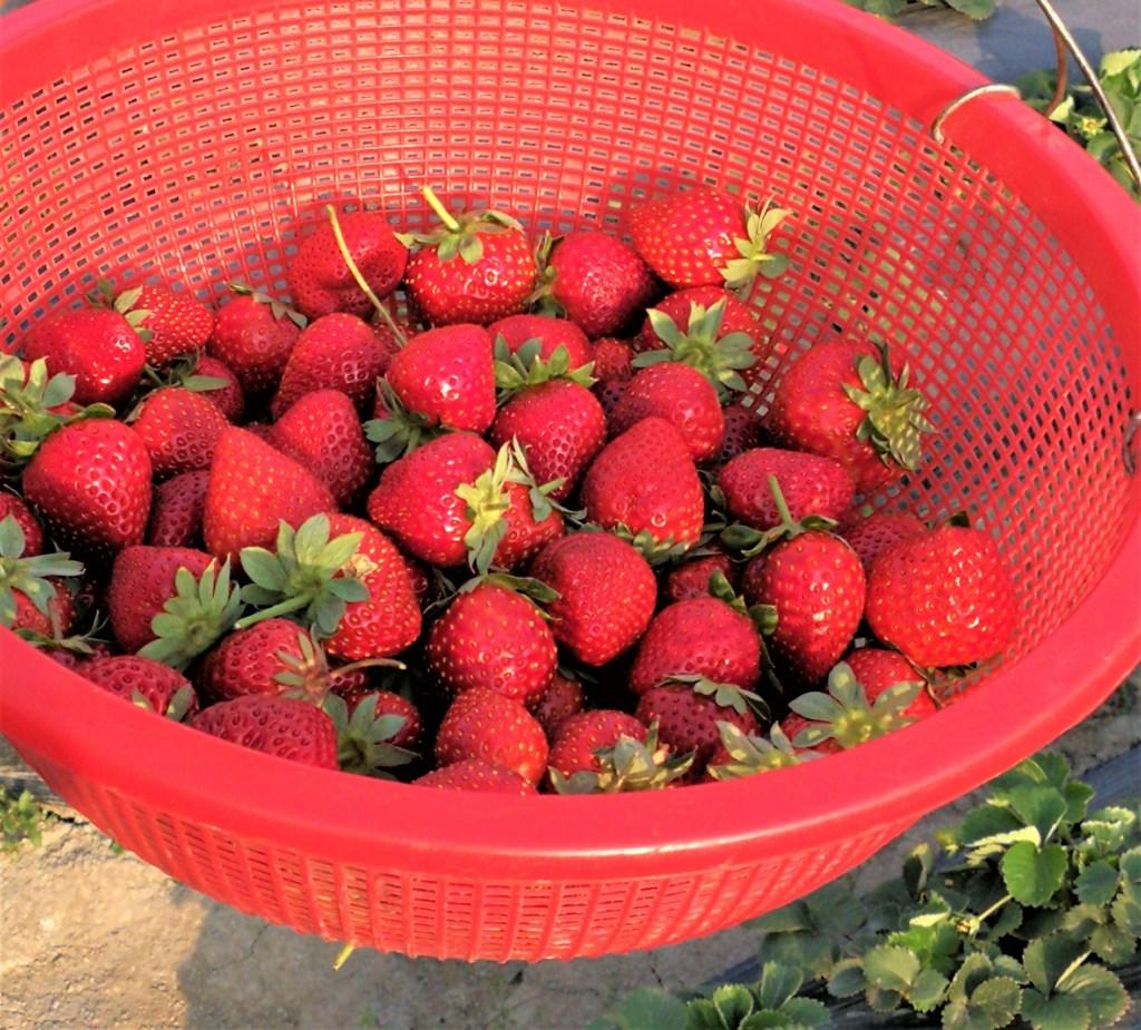 新鮮的草莓