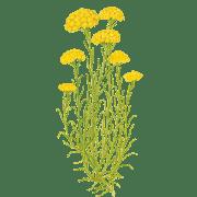 Helichrysum Face Oil