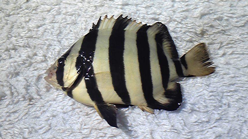 すべての花の畫像: 最新石鯛 稚魚