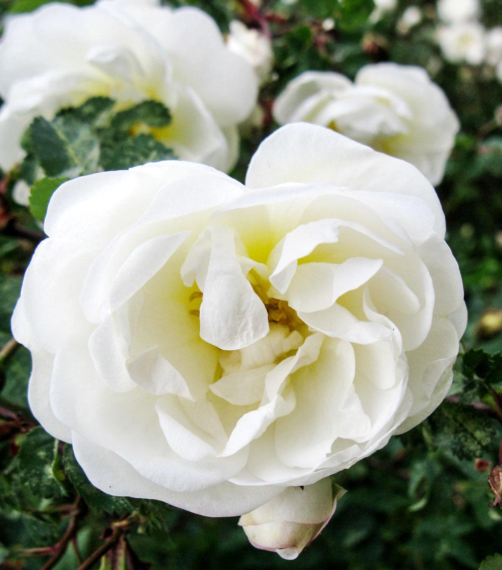 Zuri_Zuberi_flowers_white_1