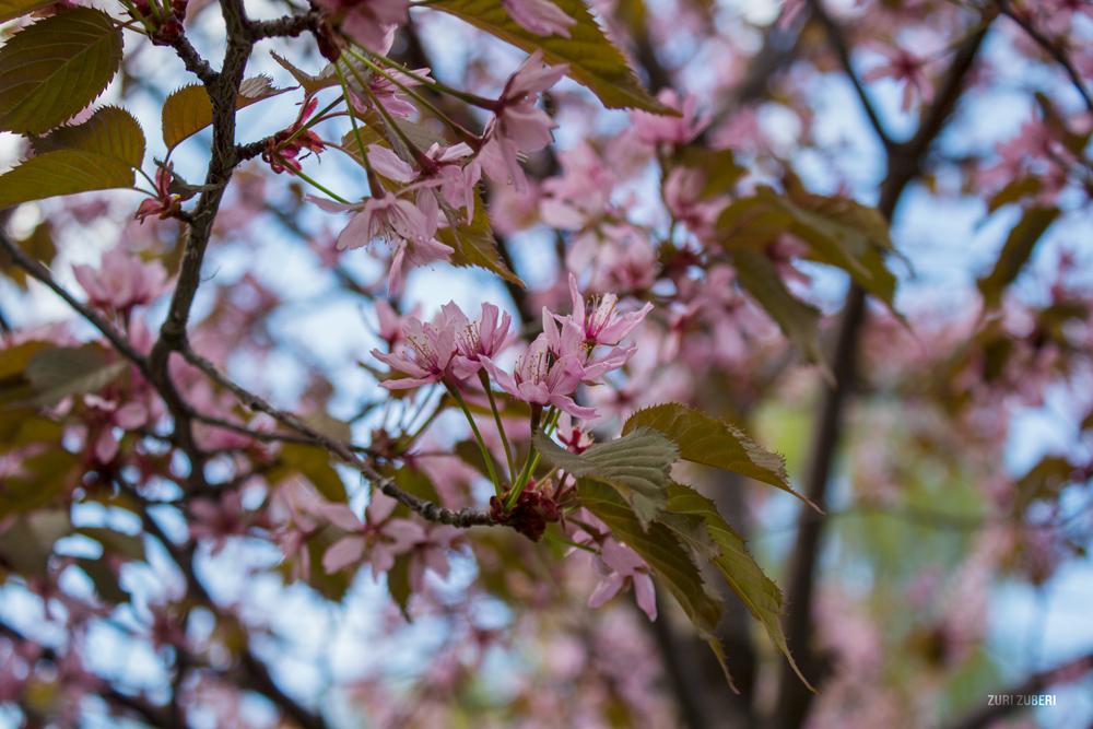 Zuri_Zuberi_Cherry_Blossom_6