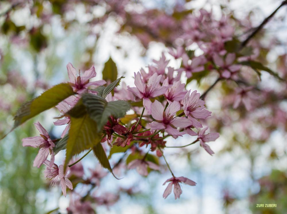 Zuri_Zuberi_Cherry_Blossom_9